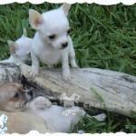 precio chihuahua