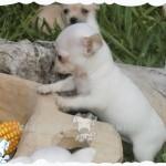 chihuahua precio