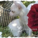 perritos chihuahua