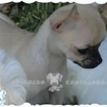 criaderos chihuahua