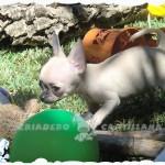 criaderos de chihuahuas en España