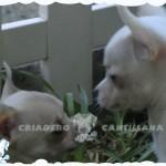 venta chihuahuas