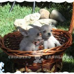 chihuahuas venta