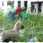 venta chihuahua toy