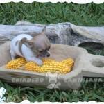 chihuahua criadero