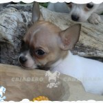 perros chihuahua precios
