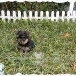 venta de yorkshire terrier mini