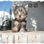 comprar yorkshire terrier