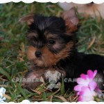 yorkshire terrier toy