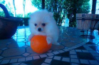 Cachorros Pomeranias Precio Irresistible