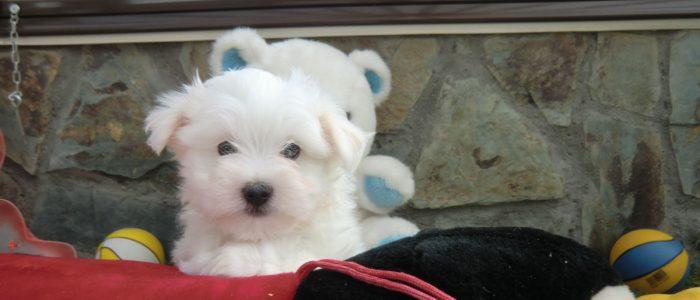 Cachorros Bichón Maltés en Venta - Precio Irresistible