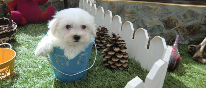 Cachorro Bichón Maltés - Precio Irresistible