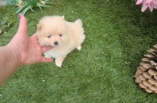 Perros Lulú Pomerania - Precio Irresistible