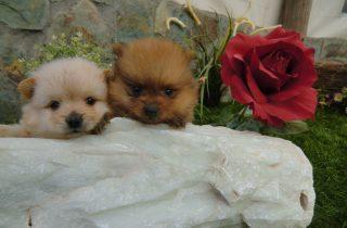 Perros Pomeranias - Comprar