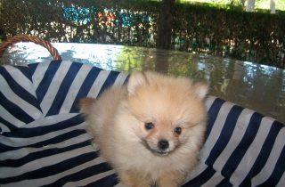 Pomeranias - Precio Irresistible