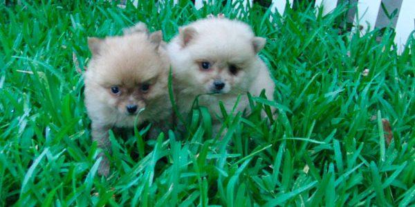 Pomeranias en Venta