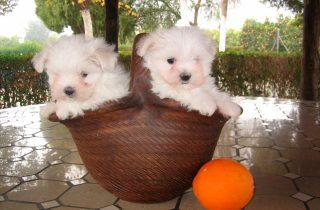 Bichón Maltés Cachorros - Precio Irresistible