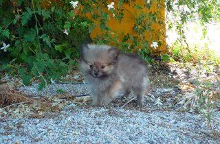 Perro Pomerania - Precio Irresistible