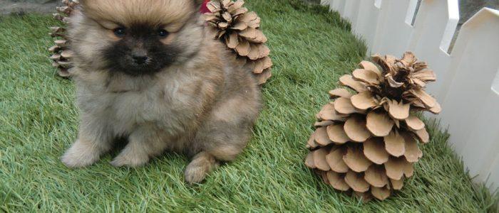 Pomeranian - Precio Irresistible