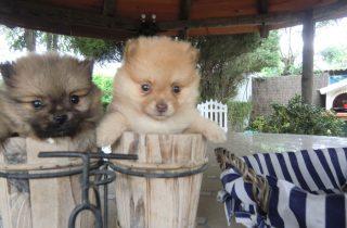 Pomeranian a Precio Irresistible