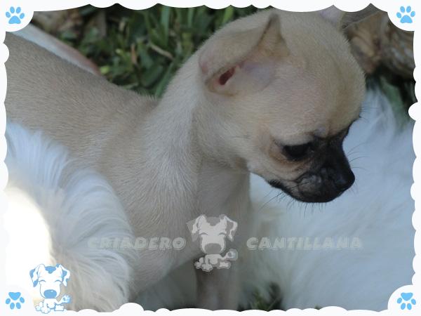 Criadero de Chihuahua en Santiago de Compostela-Criadero Cantillana