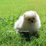 pomerania cachorro