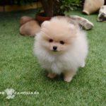 precio perro pomerania