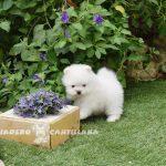 razas de perros pomerania