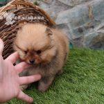 vendo perro pomerania