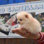 venta cachorros pomeranias