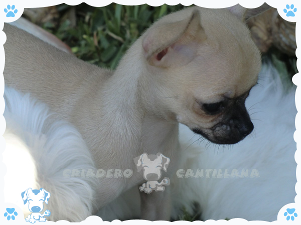 venta de chihuahua mini en Burgos